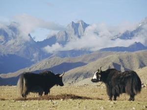 Yaks Near Nyalam, Tibet, China, Asia by Jane Sweeney