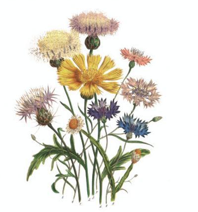 Centaurea Crocadylium by Jane W. Loudon