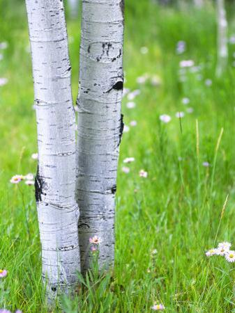 Aspen Trees and Wildflowers, Lake City, Colorado, USA