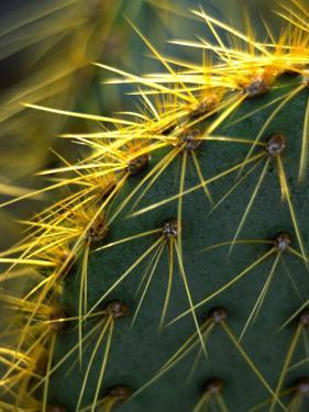 Cactus, Joshua Tree National Park, California, USA by Janell Davidson