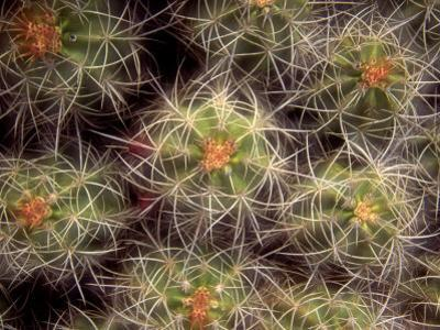 Close-up Cactus, Joshua Tree National Park, California, USA
