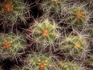 Close-up Cactus, Joshua Tree National Park, California, USA by Janell Davidson