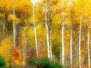 Fall Aspen Trees along Highway 2, Washington, USA by Janell Davidson