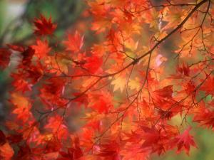 Fall Maple Leaves by Janell Davidson
