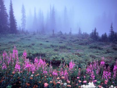Foggy Alpine Meadow, Mt. Rainier National Park, Washington, USA