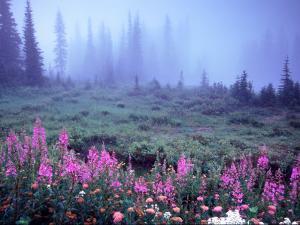 Foggy Alpine Meadow, Mt. Rainier National Park, Washington, USA by Janell Davidson