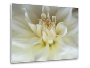 White Dahlia Close-up by Janell Davidson