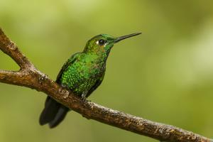 Monteverde NP, Costa Rica. Green-crowned brilliant hummingbird resting on a branch. by Janet Horton