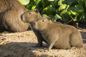 Pantanal, Mato Grosso, Brazil. Portrait of two young Capybaras sitting along the riverbank by Janet Horton