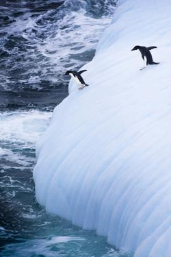 Antarctica. Adelie Penguins Jump of an Iceberg by Janet Muir