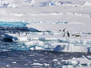 Antarctica. Emperor and Adelie Penguins on the Edge of an Ice Shelf by Janet Muir