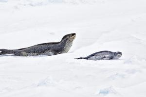 Antarctica. Leopard Seal and Pup by Janet Muir
