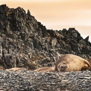 Antarctica Peninsula, Elephant Seal Rests on the Rocks by Janet Muir
