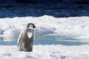 Cape Washington, Antarctica. An Emperor penguin chick with heart on its chest walks on the ice. by Janet Muir