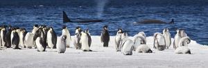 Cape Washington, Antarctica. Emperor Penguins and Orcas by Janet Muir