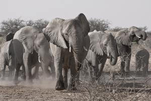 Etosha National Park, Namibia. Africa. a Herd of Bush Elephants by Janet Muir