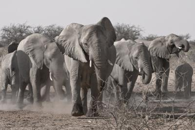 Etosha National Park, Namibia. Africa. a Herd of Bush Elephants by Janet Muir