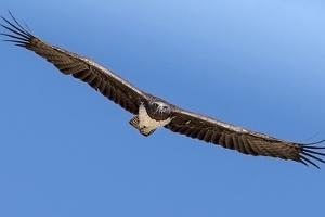 Etosha National Park, Namibia. Martial Eagle in Flight by Janet Muir