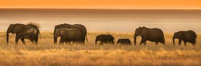 Etosha NP, Namibia, Africa. Elephants Walk in a Line at Sunset