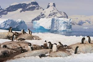 Lemaire Channel, Antarctica. Gentoo Penguin colony in foreground with Icebergs by Janet Muir