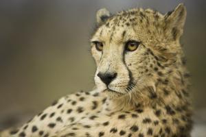 Livingstone, Zambia, Africa. Cheetah by Janet Muir