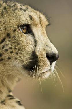 Livingstone, Zambia. Close-up of Cheetah Profile by Janet Muir