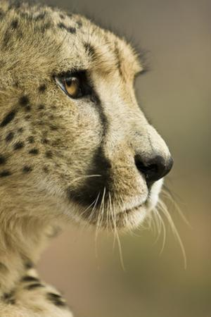 Livingstone, Zambia. Close-up of Cheetah Profile by Janet Muir