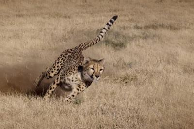 Namibia. Cheetah Running at the Cheetah Conservation Foundation by Janet Muir