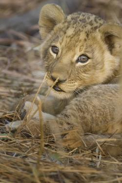 Okavango Delta, Botswana. A Close-up of a Lion Cub by Janet Muir