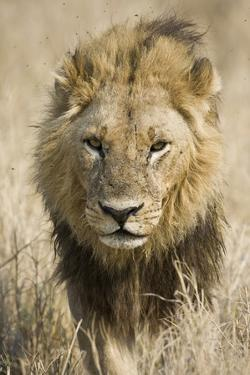 Okavango Delta, Botswana. Close-up of a Male Lion Approaching Head On by Janet Muir