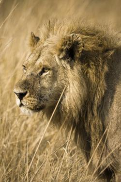 Okavango Delta, Botswana. Close-up of a Male Lion. Profile by Janet Muir