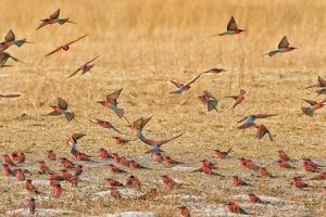 Okavango Delta, Shinde Camp, Botswana, Africa. Little Bee-Eaters by Janet Muir