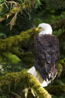Raptor Center, Sitka, Alaska. Close-up of a Bald Eagle Sitting in Tree by Janet Muir