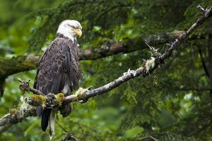 Raptor Center, Sitka, Alaska. Close-up of a Bald Eagle by Janet Muir