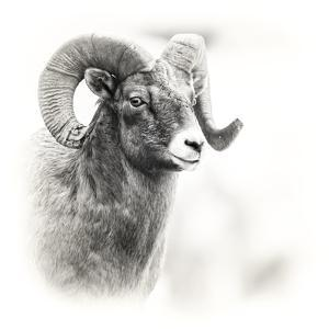 Shoshone NF, Wyoming. Black and White Photo of a Big Horn Sheep by Janet Muir