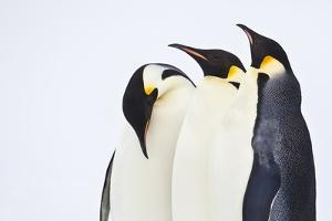 Snow Hill, Antarctica. Three Emperor Penguins. High Key by Janet Muir