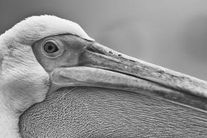 Walvis Bay, Namibia. Extreme Close-up of Eastern White Pelican by Janet Muir
