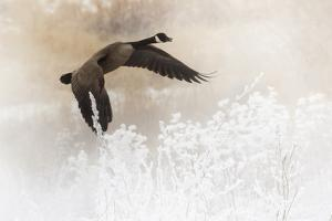 Wapiti Valley, Wyoming. a Canadian Goose Takes Flight by Janet Muir