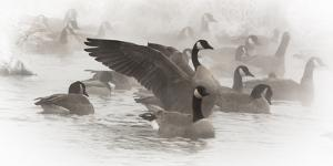 Wapiti, Wyoming. USA. Artistic shot of Canadian Geese in the mist. by Janet Muir
