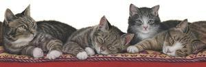 Tabbies White Background by Janet Pidoux