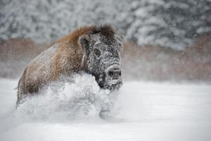 American Bison (American Buffalo) (Bison Bison), Montana, United States of America, North America by Janette Hil