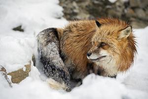 American Red Fox (Vulpes Vulpes Fulves), Montana, United States of America, North America by Janette Hil