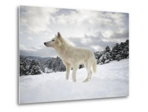Arctic Wolf (Canis Lupus Arctos), Montana, United States of America, North America by Janette Hil