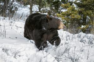 Black Bear (Ursus Americanus), Montana, United States of America, North America by Janette Hil