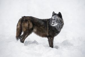 Black Fox (Vulpes Vulpes), Montana, United States of America, North America by Janette Hil