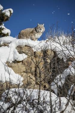Bobcat (Lynx Rufus), Montana, United States of America, North America by Janette Hil
