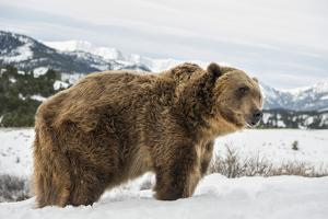 Brown Bear (Grizzly) (Ursus Arctos), Montana, United States of America, North America by Janette Hil