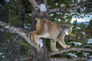 Canadian Lynx (Lynx Canadensis), Montana, United States of America, North America by Janette Hil