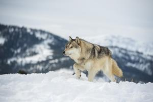 Grey Wolf (Timber Wolf) (Canis Lupis), Montana, United States of America, North America by Janette Hil