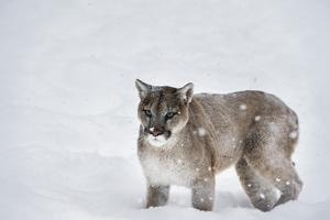 Mountain Lion (Puma) (Cougar) (Puma Concolor), Montana, United States of America, North America by Janette Hil
